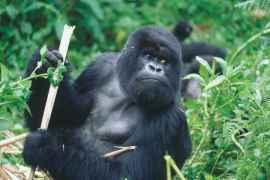 advanced monkey folk